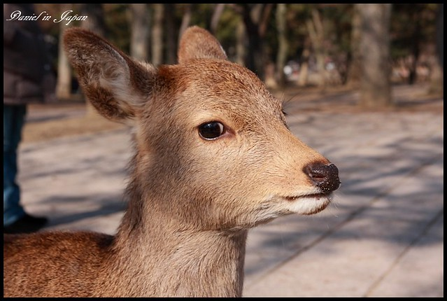 【日本奈良】東大寺&奈良公園 梅花鹿佔據優美公園及世界上最大的木造佛寺 @小盛的流浪旅程