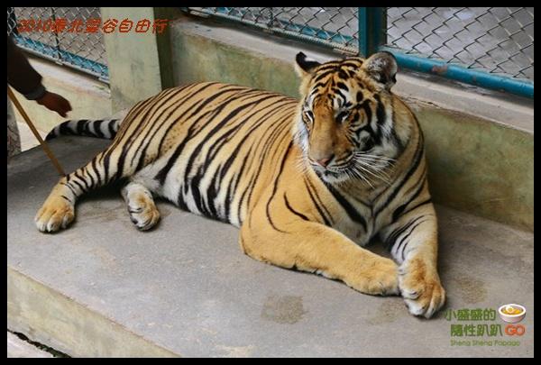 【泰國清邁‧遊】Tiger Kingdom之老虎接觸初體驗 @小盛的流浪旅程